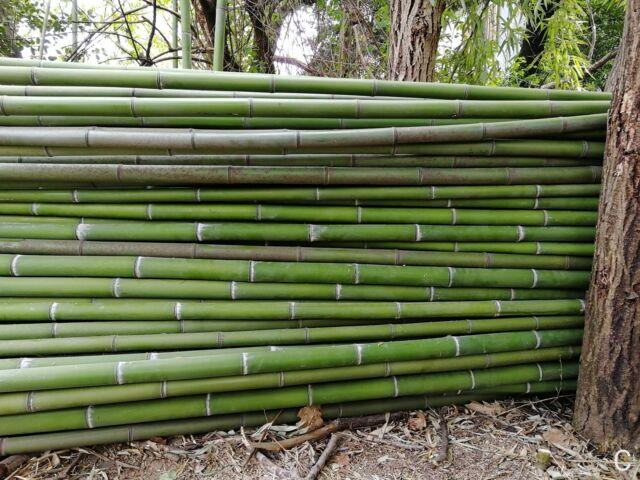 Canne di bambù gigante Ø da 5 a 7 cm lunghe 10 metri