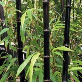 10 semi di bambu nero phyllostachys nigra