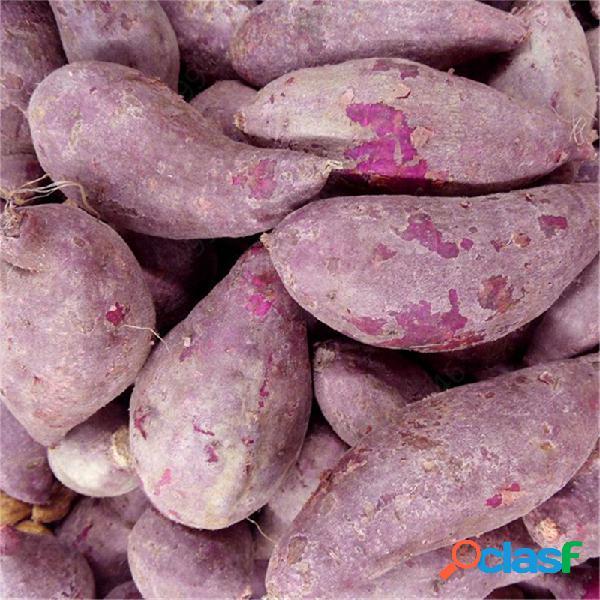 100 pezzi di patate dolci viola viola Delicious Green