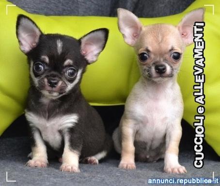 Chihuahua Cuccioli - Allevamento ric. Enci Cane Chihuahua a