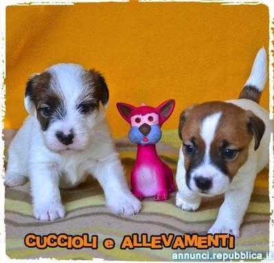 Jack russell Terrier Cuccioli - Allevamento ric. Enci Cane