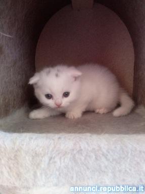 Scottish Fold maschietto Gatto Altro gatto