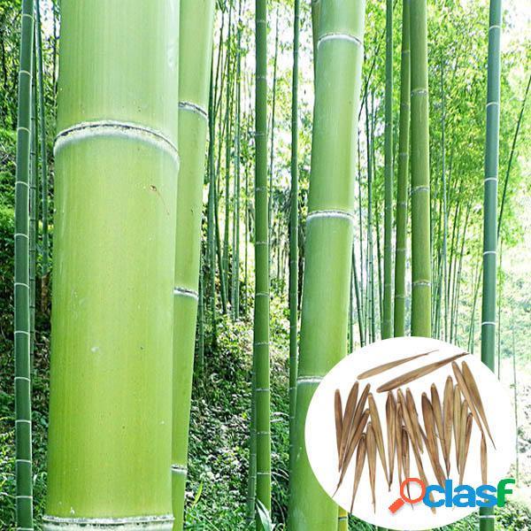 Egrow 100pz Semi di Bambù Moso Arbor Sempreverde da