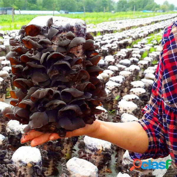 Egrow 50 Pz / pacco Semi Agaric Sana Commestibile Vegetale