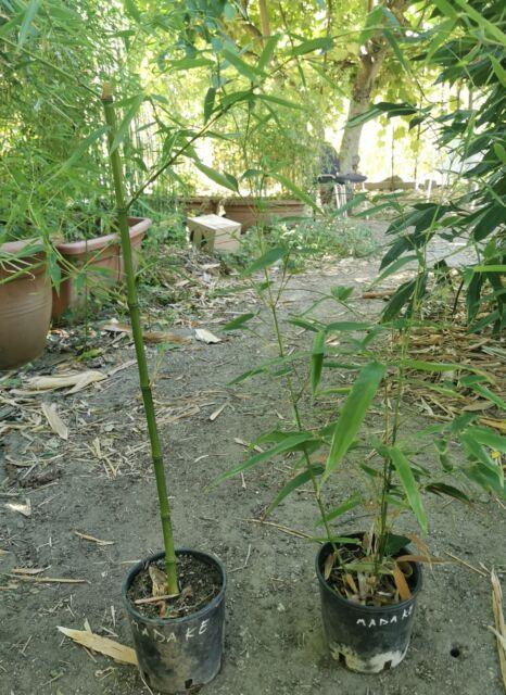 Piante bambú gigante phyllostachys Madake il ré dei Bambù