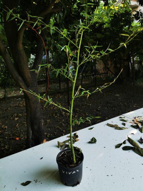 Piante di bambù gigante phyllostachys vivax,
