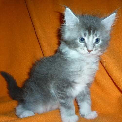 Maine coon gattini