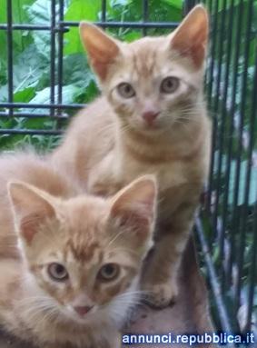 GATTINI SORIANI Gatto Altro gatto Mezzana Bigli