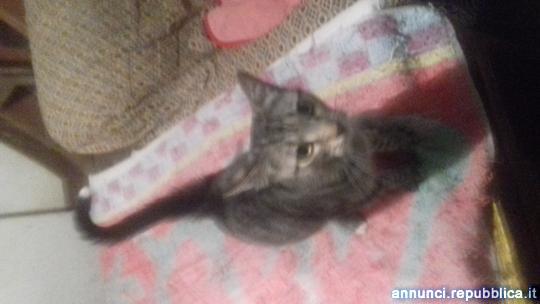 Regalo gattina di 7 mesi Gatto Europeo Molinella