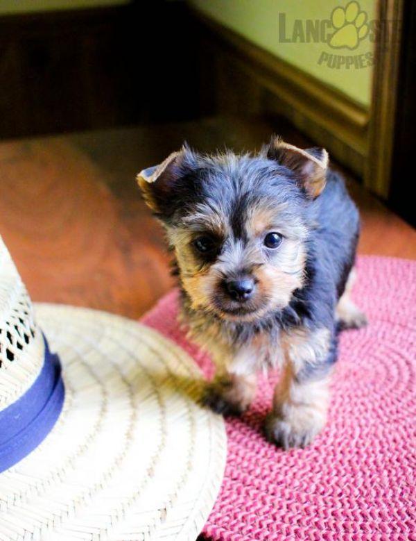 Cucciolo di yorkshire di 2 mesi per regalo simpatico