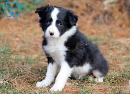 Disponibile cucciolo di border collie
