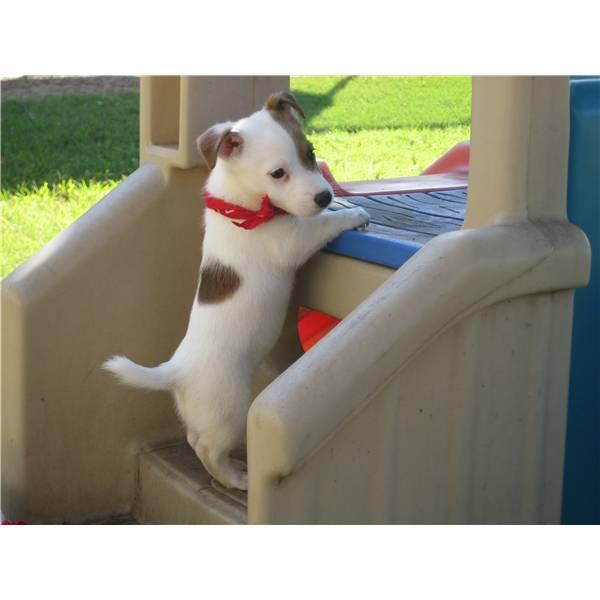Vendiamo splendidi cuccioli di JACK RUSSEL